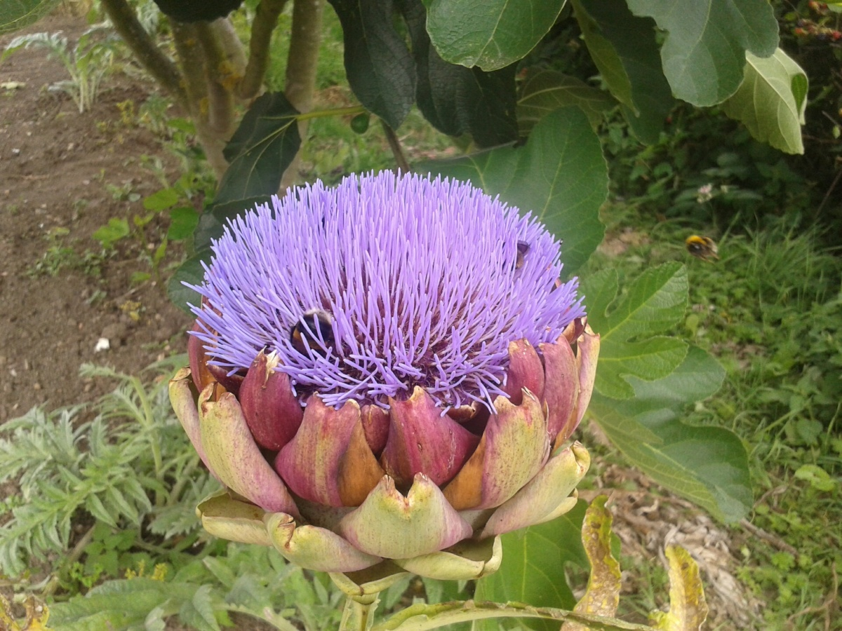 Artichoke with bees